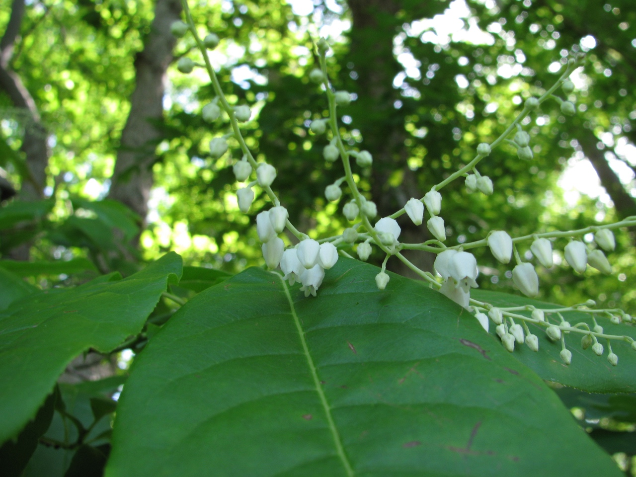 The Scientific Name is Oxydendrum arboreum. You will likely hear them called Sourwood, Sorrel-tree. This picture shows the Close-up of flowers of Oxydendrum arboreum