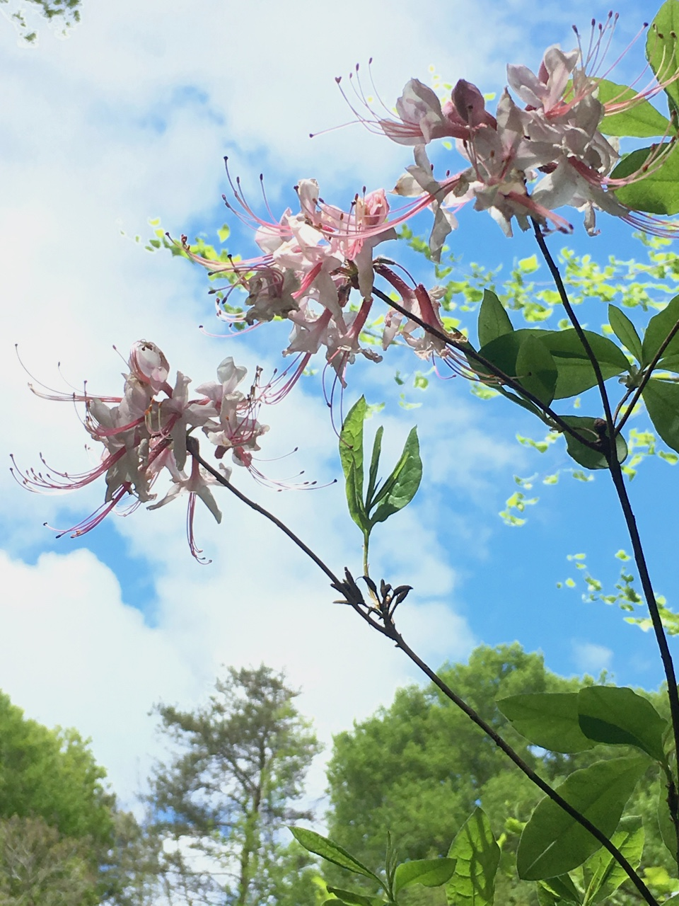 The Scientific Name is Rhododendron periclymenoides [= Rhododendron nudiflorum]. You will likely hear them called Pinxterflower, Pinxter-flower, Wild Honeysuckle, Swamp Honeysuckle, PInxterbloom, Wild Azalea. This picture shows the  of Rhododendron periclymenoides [= Rhododendron nudiflorum]