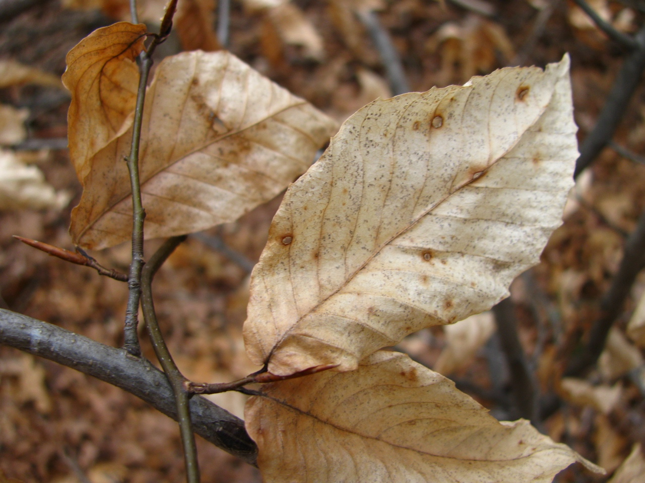 The Scientific Name is Fagus grandifolia. You will likely hear them called American Beech, Gray Beech, Red Beech, White Beech. This picture shows the Close-up of branches in winter of Fagus grandifolia