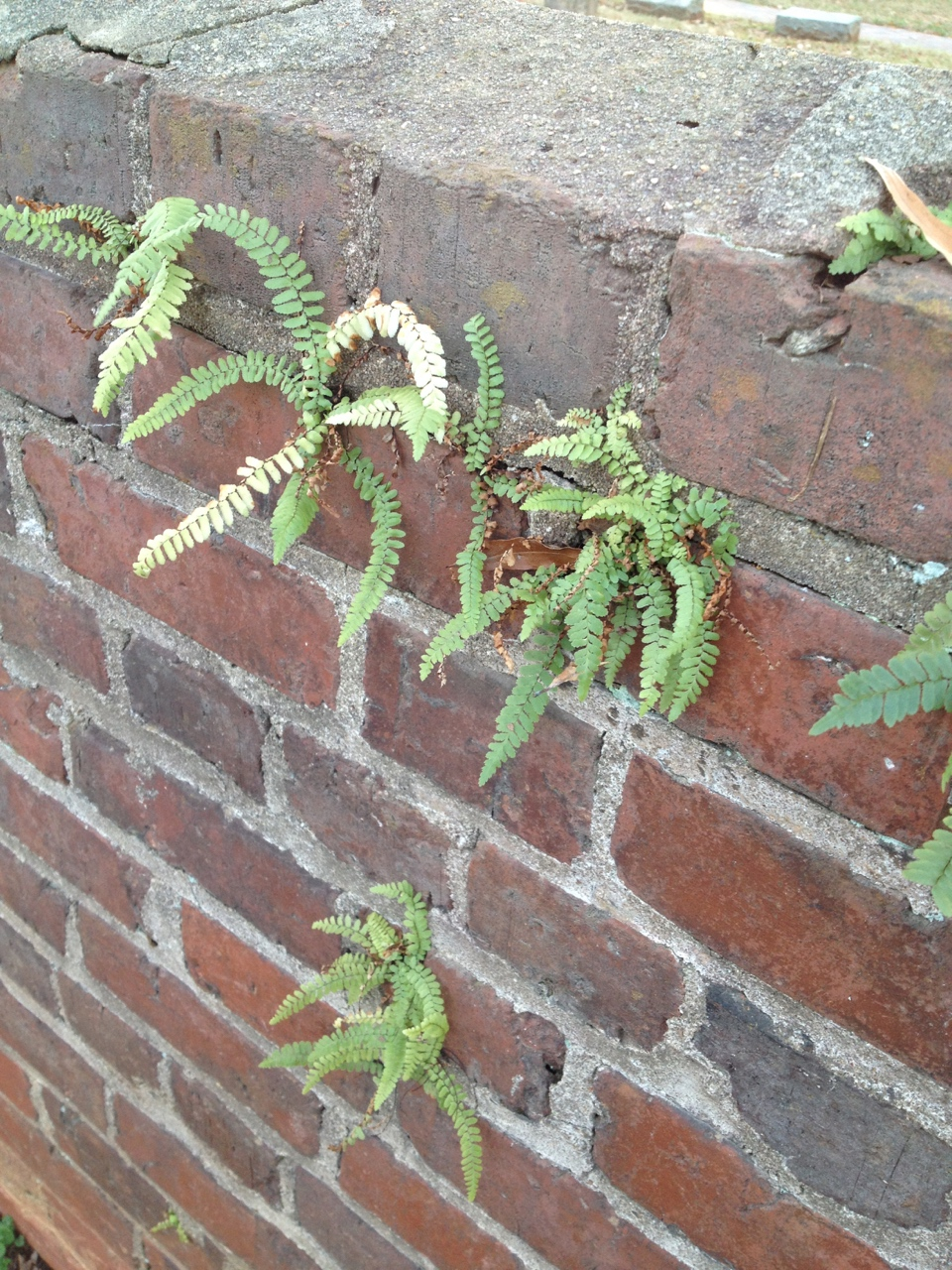 The Scientific Name is Asplenium platyneuron. You will likely hear them called Ebony spleenwort. This picture shows the Growing on a brick wall! of Asplenium platyneuron