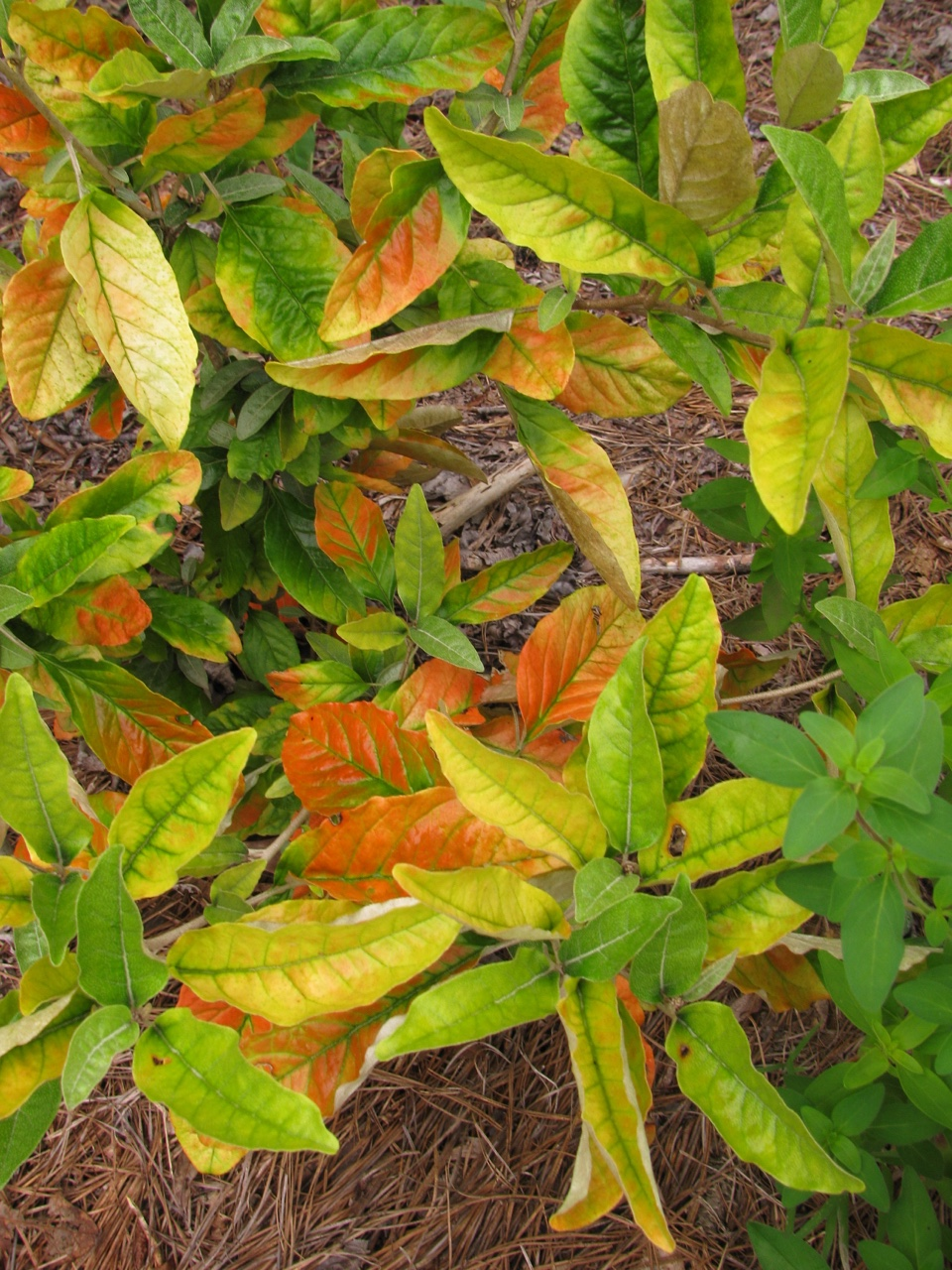 The Scientific Name is Croton alabamensis var. alabamensis. You will likely hear them called Alabama Croton. This picture shows the Fall colors beginning to appear at end of summer of Croton alabamensis var. alabamensis