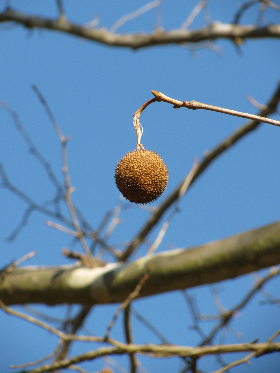 The Scientific Name is Platanus occidentalis. You will likely hear them called American Sycamore. This picture shows the Each fruiting ball consists of numerous, densely-packed, tiny achenes that persist into winter. of Platanus occidentalis