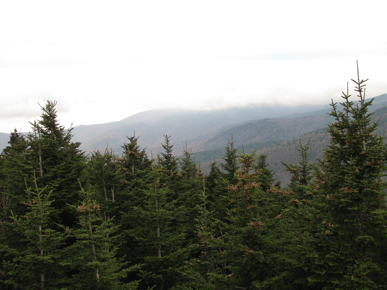 The Scientific Name is Abies fraseri. You will likely hear them called Fraser Fir, Southern Balsam, She Balsam. This picture shows the  of Abies fraseri