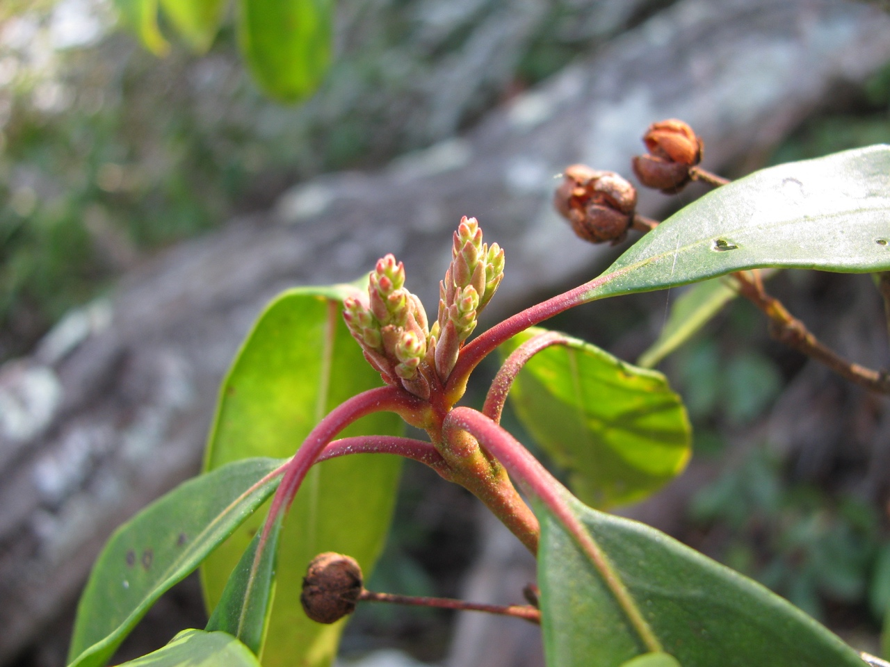 The Scientific Name is Kalmia latifolia. You will likely hear them called Mountain Laurel, Ivy, Calico-bush. This picture shows the Developing flower buds in early March. Also present are previous years fruit (capsule.)  of Kalmia latifolia