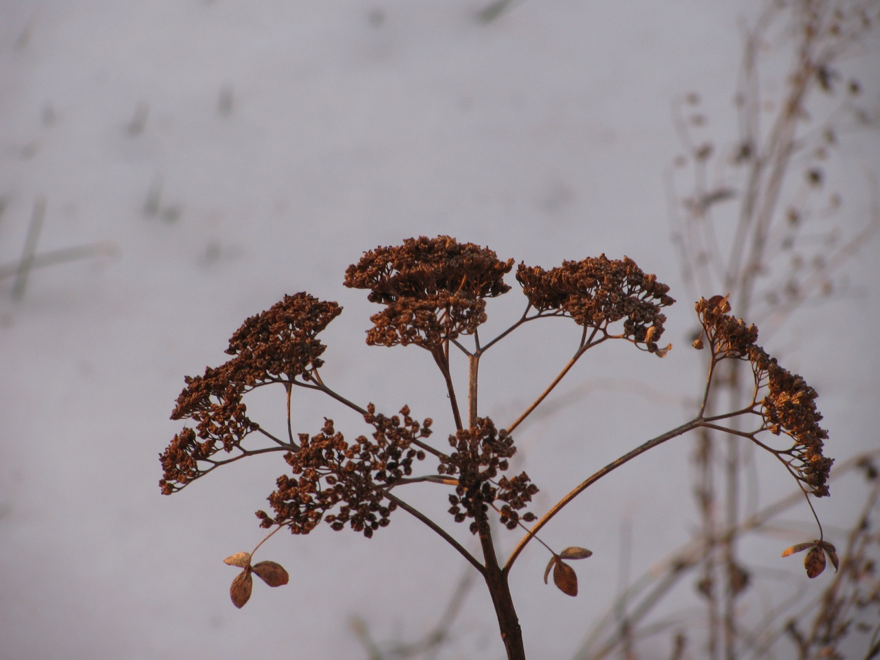 The Scientific Name is Hydrangea radiata [= Hydrangea arborescens ssp. radiata]. You will likely hear them called Silverleaf Hydrangea, Snowy Hydrangea. This picture shows the Dried inflorescence during winter of Hydrangea radiata [= Hydrangea arborescens ssp. radiata]