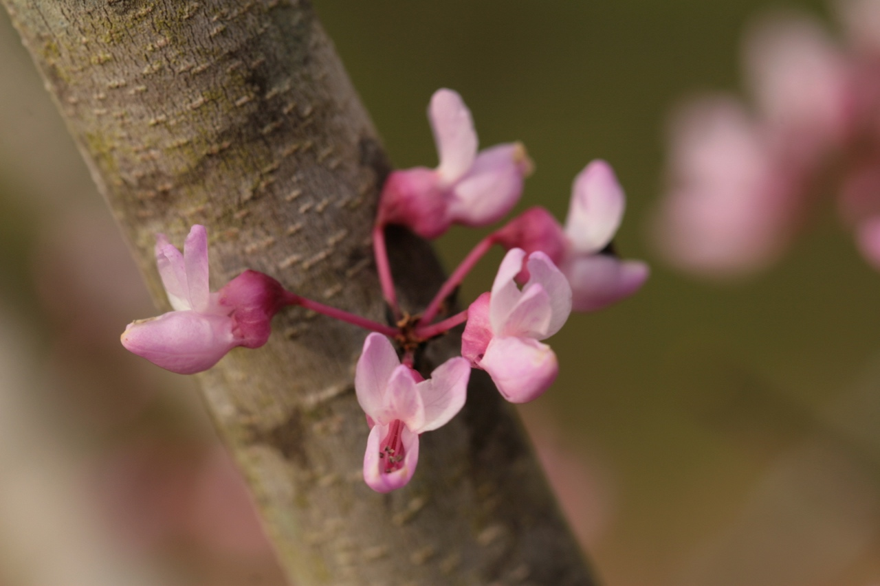 The Scientific Name is Cercis canadensis var. canadensis. You will likely hear them called Eastern Redbud, Judas-tree. This picture shows the Close-up of flowers of Cercis canadensis var. canadensis