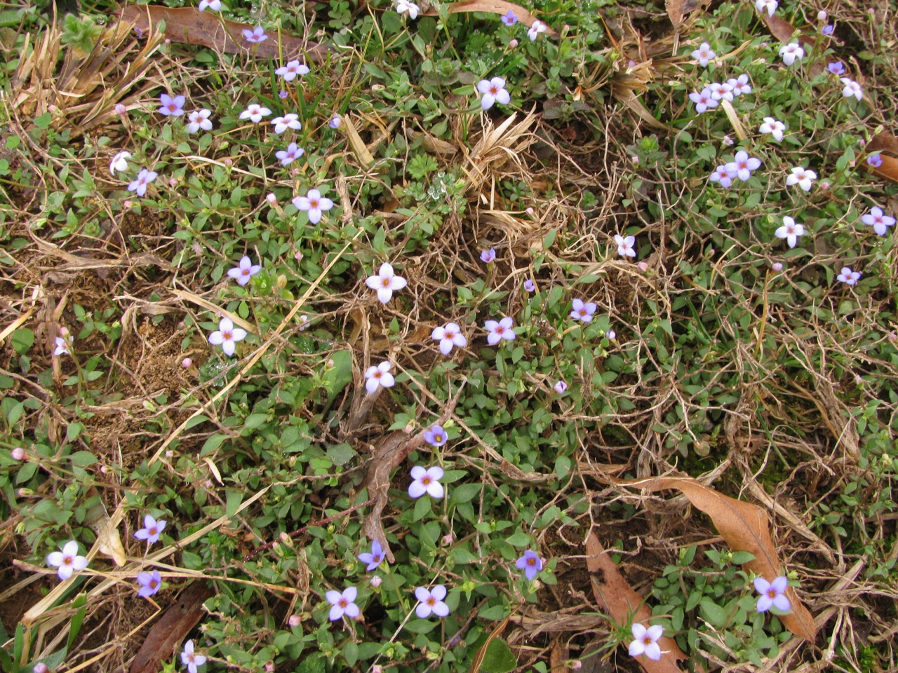 The Scientific Name is Houstonia pusilla. You will likely hear them called Tiny Bluet, Early Bluet. This picture shows the Grows in patches in the lawn in early spring of Houstonia pusilla