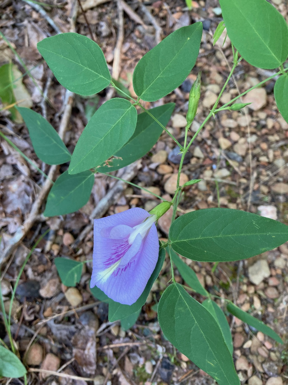 The Scientific Name is Clitoria mariana. You will likely hear them called Butteryfly Pea. This picture shows the Plant showing trifoliate leaves, developing flower buds, and opened flower with a more typical flower color of Clitoria mariana