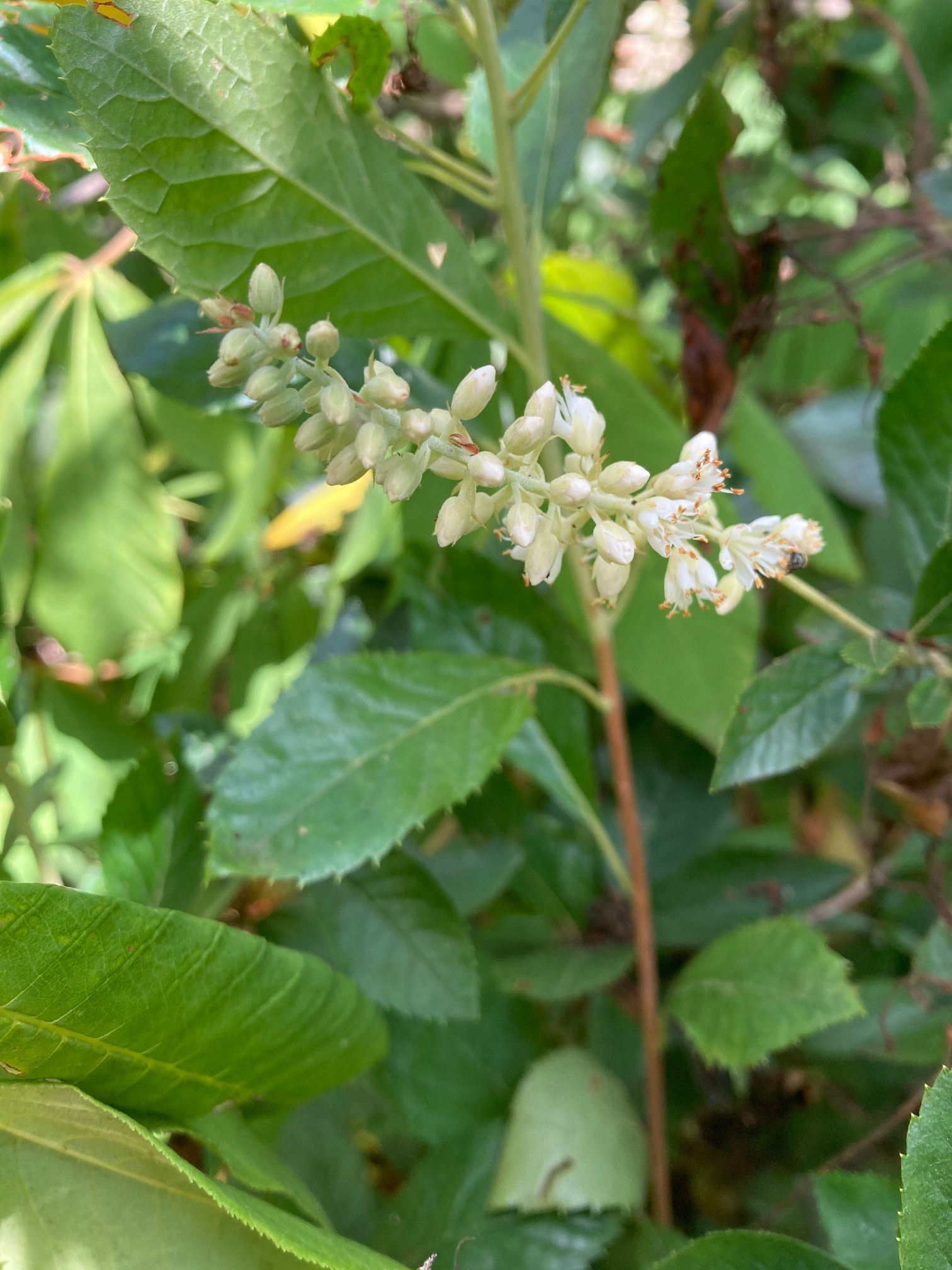 The Scientific Name is Clethra alnifolia. You will likely hear them called Coastal Sweet-pepperbush, Coastal White-alder, Summersweet. This picture shows the Flowering in July with attractive fragrance of Clethra alnifolia