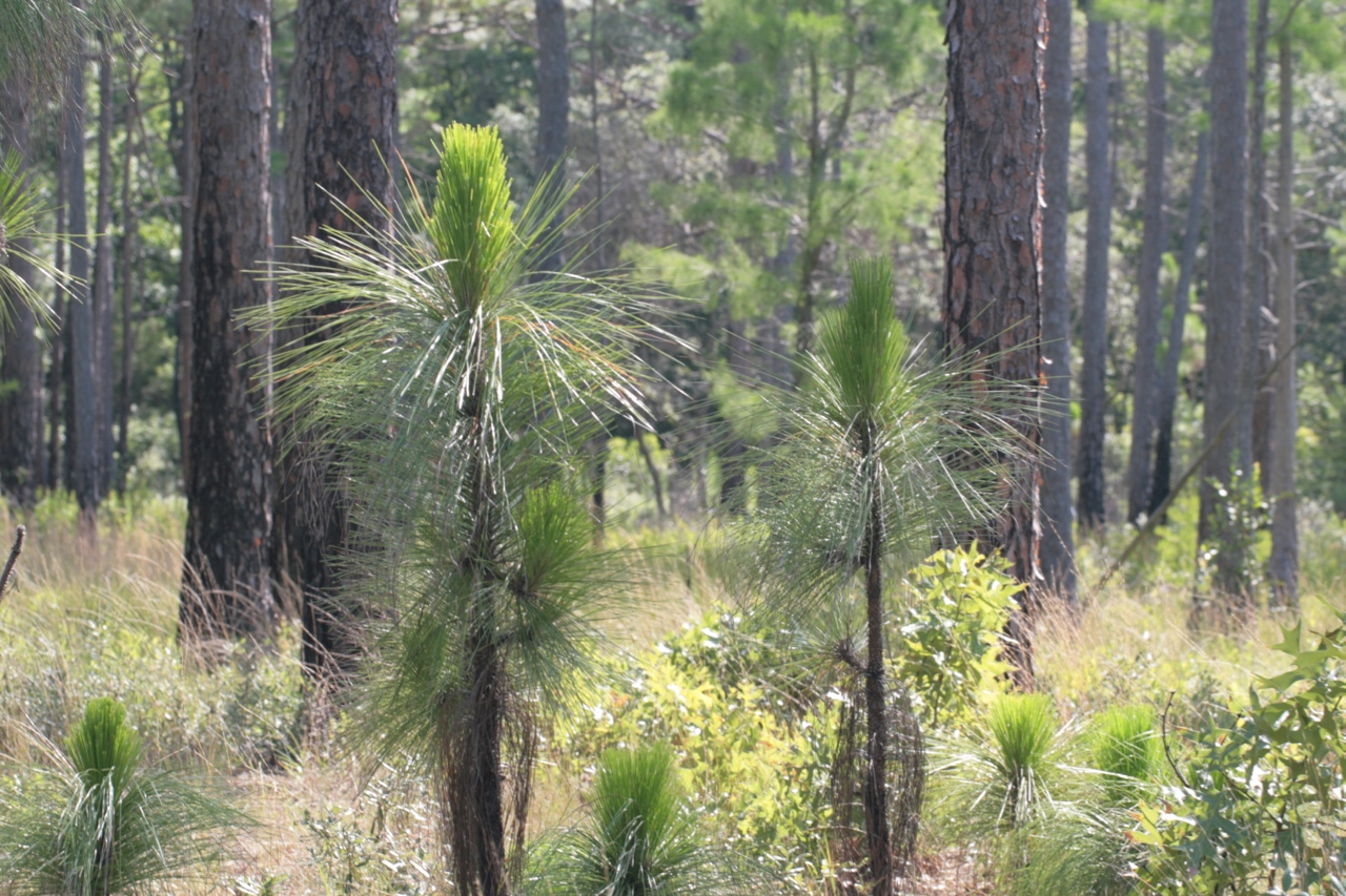 The Scientific Name is Pinus palustris. You will likely hear them called Longleaf Pine, Southern Pine. This picture shows the Long-leaf Pine stand with young saplings. of Pinus palustris
