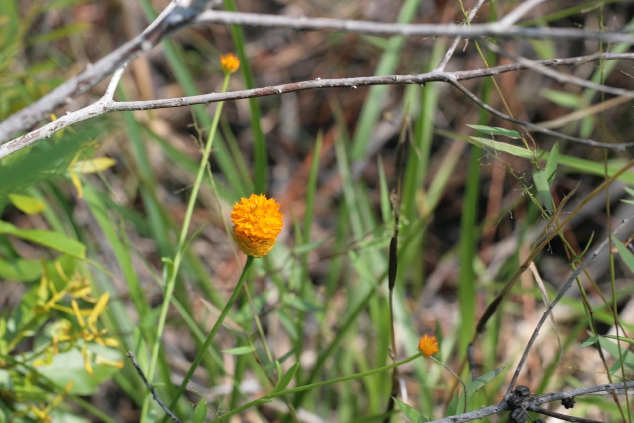 The Scientific Name is Polygala lutea. You will likely hear them called Orange Milkwort, Yellow Milkwort, Red-hot-poker, Candy Weed, Candyroot. This picture shows the  of Polygala lutea
