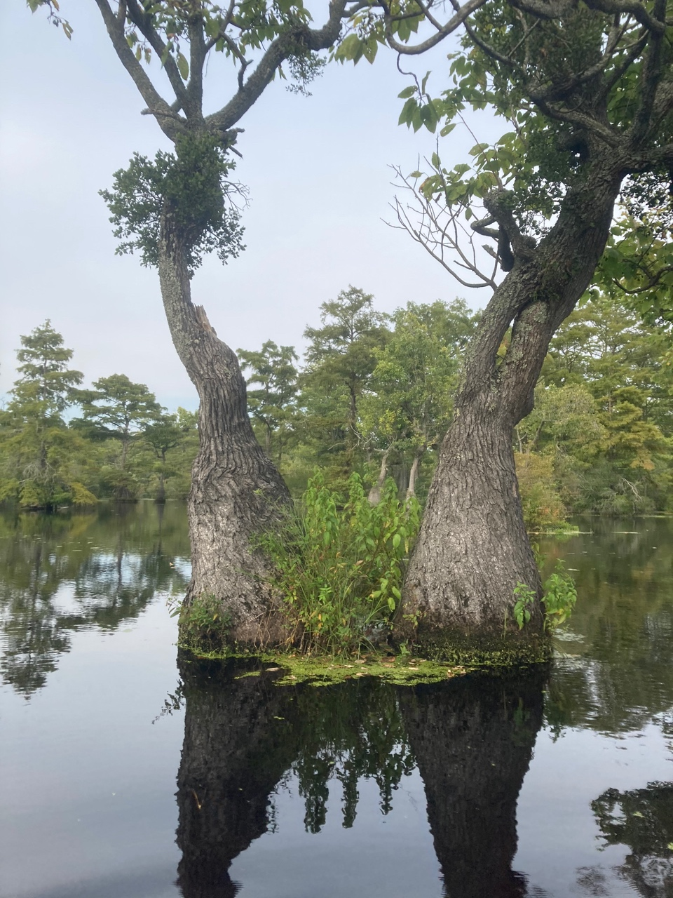 The Scientific Name is Nyssa aquatica [=Nyssa uniflora]. You will likely hear them called Water Tupelo, Tupelo Gum, Cotton Gum, Large Tupelo, Water Gum. This picture shows the Growing in a swamp with the characteristic swollen trunk base. American Mistletoe growing on it which creates a gnarly-shaped trunk. of Nyssa aquatica [=Nyssa uniflora]