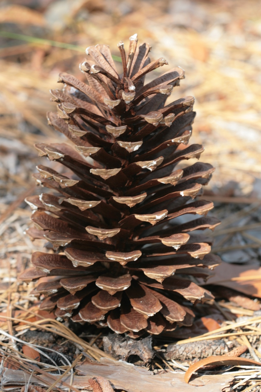The Scientific Name is Pinus palustris. You will likely hear them called Longleaf Pine, Southern Pine. This picture shows the Seed cones mature 2 years after pollination and measure 6 to 10 inches. Cone scales contain a reflexed prickle. of Pinus palustris