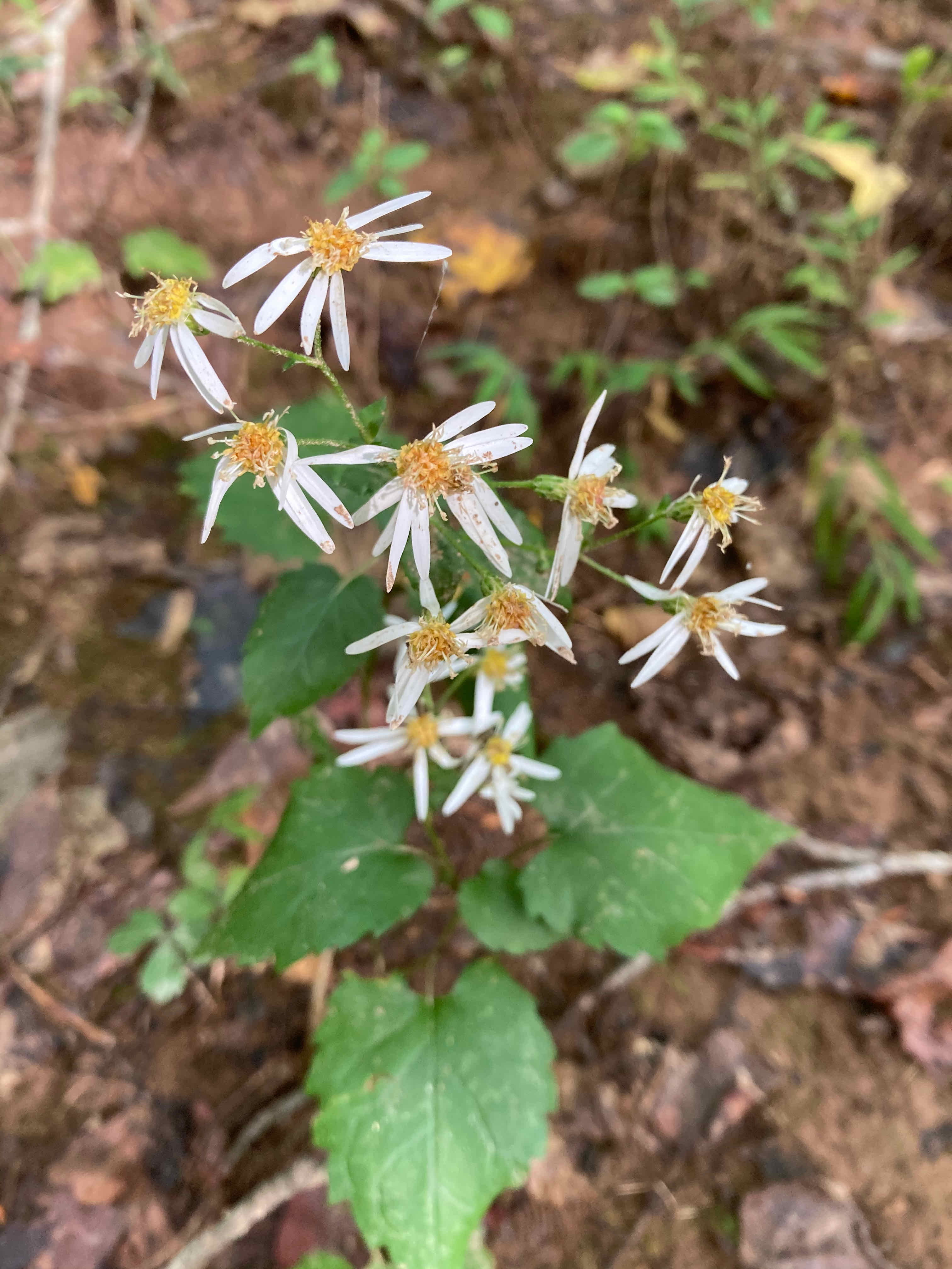 The Scientific Name is Eurybia divaricata [= Aster divaricatus]. You will likely hear them called White Wood Aster, Common White Heart-Leaved Aster. This picture shows the Has heart-shaped leaves with long stalks and long white ray florets of Eurybia divaricata [= Aster divaricatus]