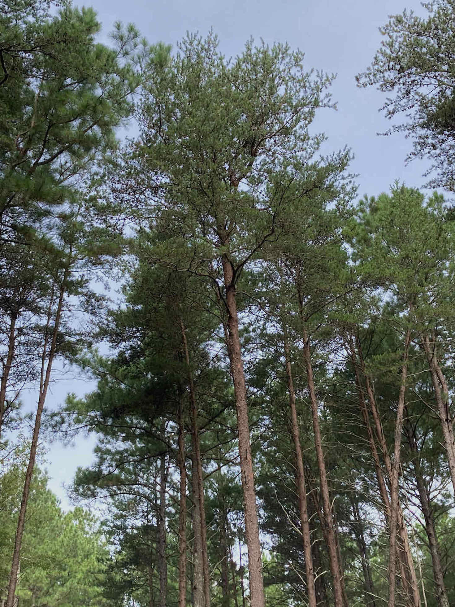 The Scientific Name is Pinus virginiana. You will likely hear them called Virginia Pine, Scrub Pine, Jersey Pine. This picture shows the Mature tree. On older trees, the older bark sloughs off to show an orangish color to the inner bark. of Pinus virginiana