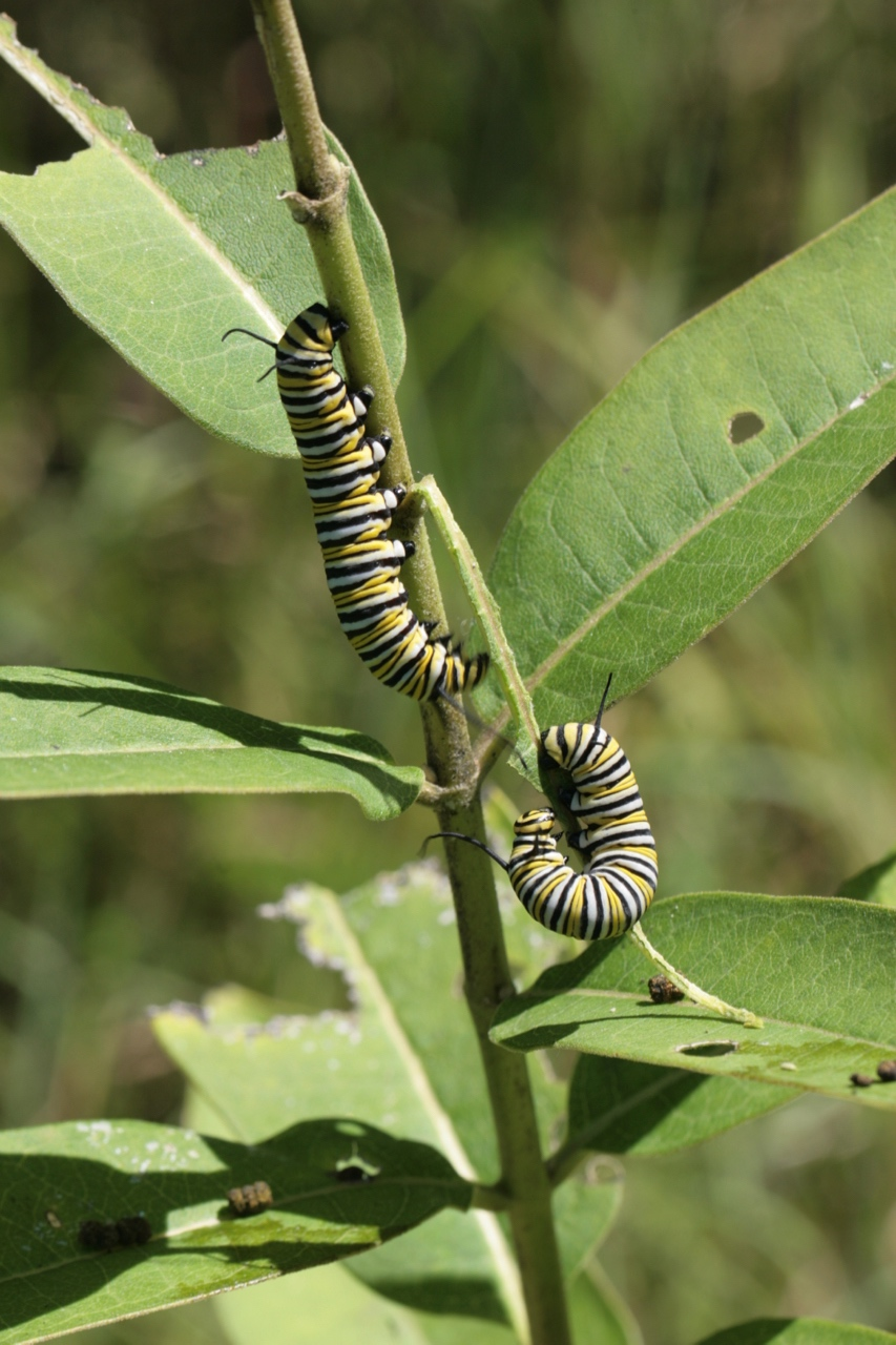The Scientific Name is Asclepias syriaca. You will likely hear them called Common Milkweed. This picture shows the Feasting Monarch butterfly caterpillars of Asclepias syriaca