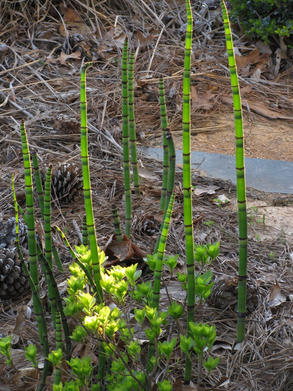 The Scientific Name is Equisetum hyemale ssp. affine [= Equisetum hyemale var. affine]. You will likely hear them called Tall Scouring-rush, River Scouring-rush. This picture shows the Plant with hollow, jointed, vertically ridged stems of Equisetum hyemale ssp. affine [= Equisetum hyemale var. affine]