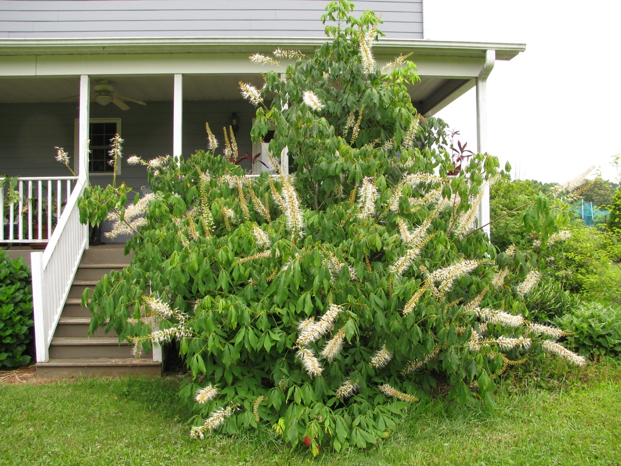 The Scientific Name is Aesculus parviflora. You will likely hear them called Bottlebrush Buckeye. This picture shows the Large shrub. Because sited in a sunnier location than it prefers, the palmately compound leaves tend to droop. Progression of flowering on the spike is from the bottom to the tip. of Aesculus parviflora