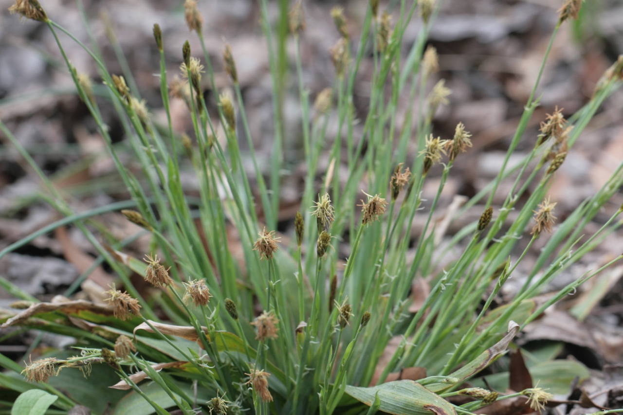 The Scientific Name is Carex platyphylla. You will likely hear them called Broadleaf Sedge, Silver Sedge. This picture shows the Many flower spikelets in April of Carex platyphylla