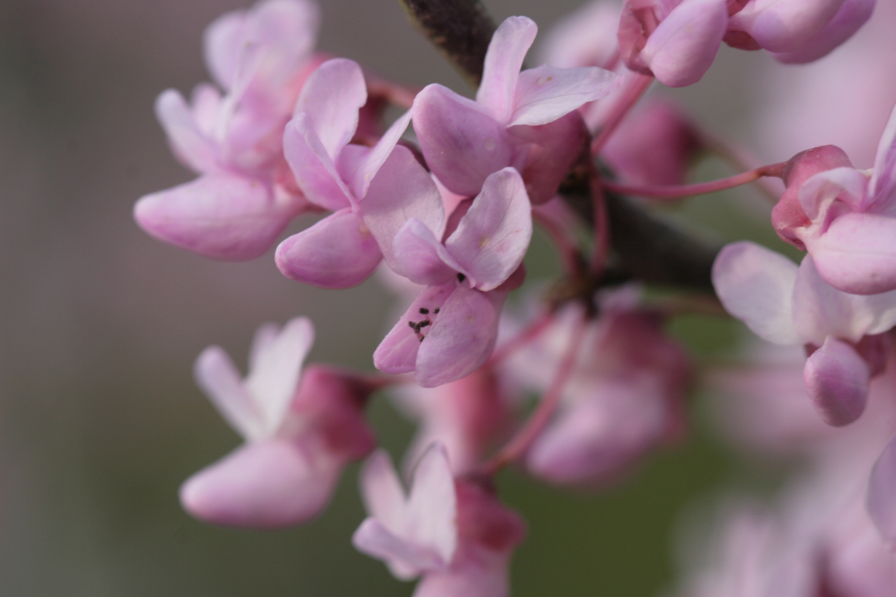 The Scientific Name is Cercis canadensis var. canadensis. You will likely hear them called Eastern Redbud, Judas-tree. This picture shows the Flowers in late March, early April of Cercis canadensis var. canadensis