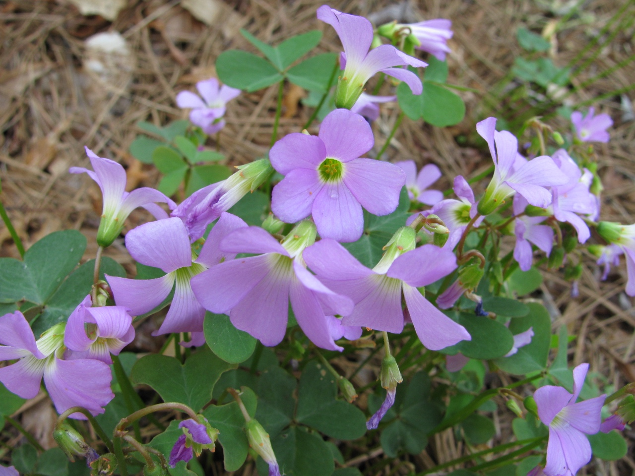 The Scientific Name is Oxalis violacea. You will likely hear them called Violet Wood-sorrel. This picture shows the Close-up of flowers of Oxalis violacea