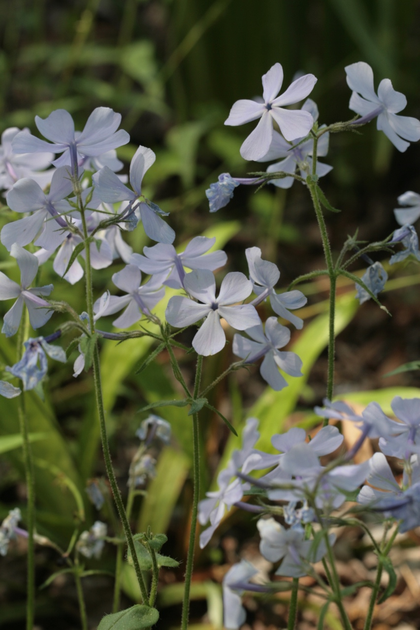 The Scientific Name is Phlox divaricata. You will likely hear them called Wild Blue Phlox, Eastern Blue Phlox, Timber Phlox, Wild Sweet William . This picture shows the Close-up of cymose inflorescence  of Phlox divaricata