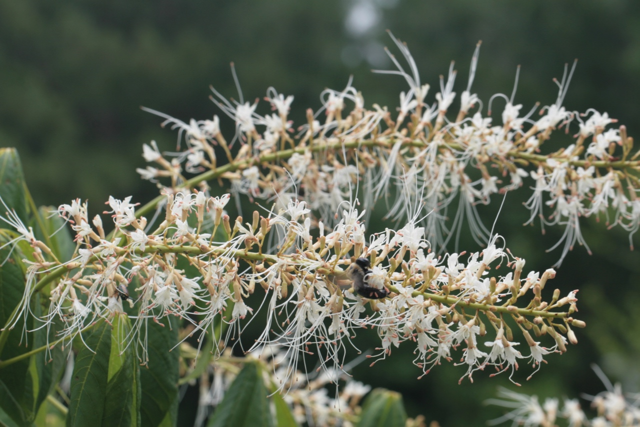 The Scientific Name is Aesculus parviflora. You will likely hear them called Bottlebrush Buckeye. This picture shows the Flower spike attracts many insects end of June into early July of Aesculus parviflora