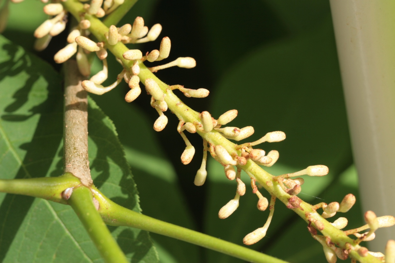 The Scientific Name is Aesculus parviflora. You will likely hear them called Bottlebrush Buckeye. This picture shows the Flower buds in June of Aesculus parviflora
