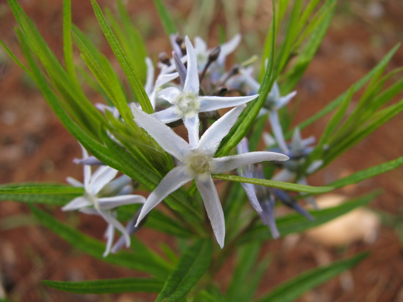 The Scientific Name is Amsonia hubrichtii. You will likely hear them called Threadleaf Bluestar, Hubricht's Bluestar, Hubricht's Slimpod. This picture shows the Blue fragrant flowers in May of Amsonia hubrichtii