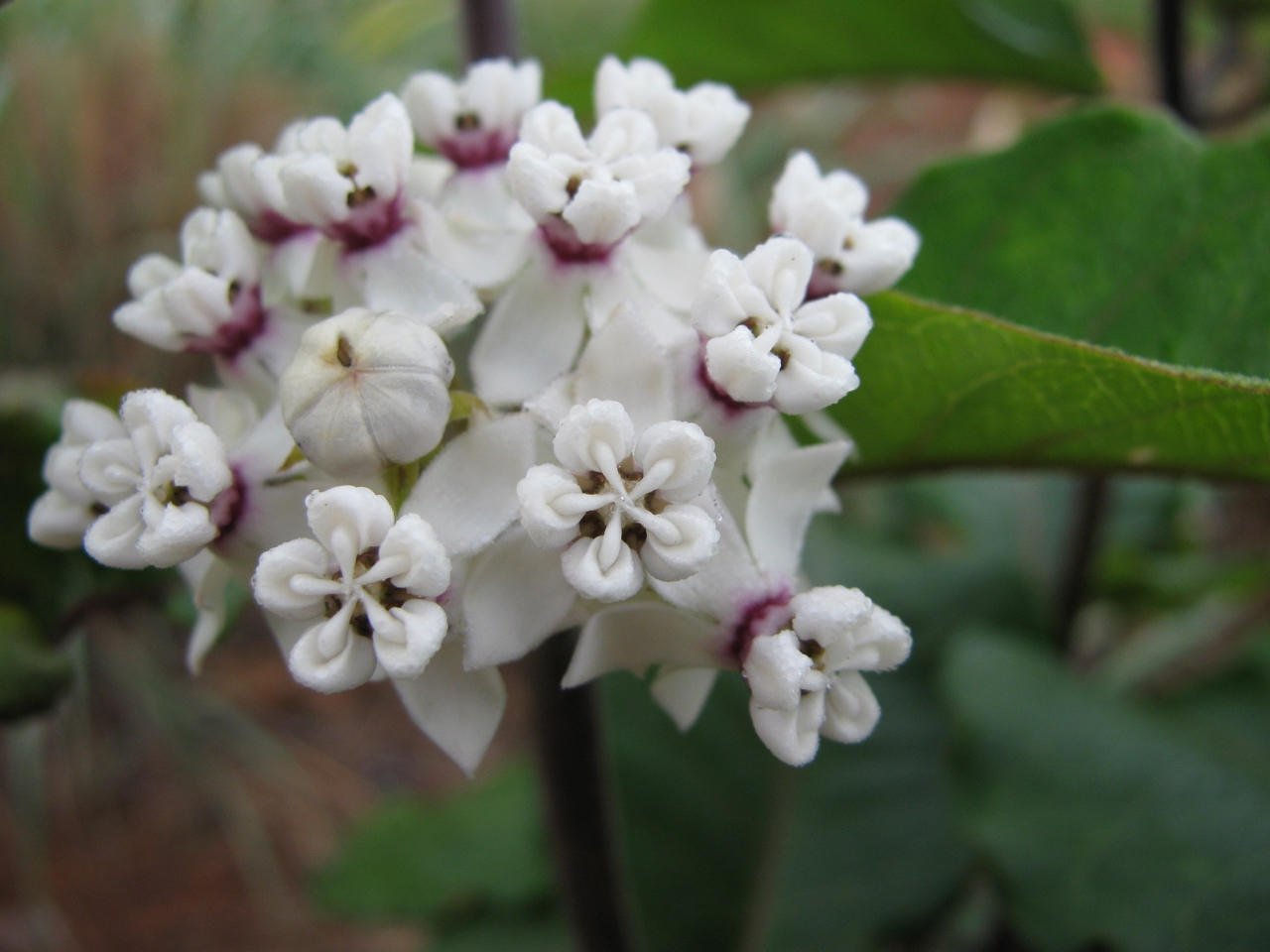 The Scientific Name is Asclepias variegata. You will likely hear them called Redring Milkweed, White Milkweed. This picture shows the Close-up of inflorescence. The flowers are bright white with a purple band around the center of each flower.  of Asclepias variegata