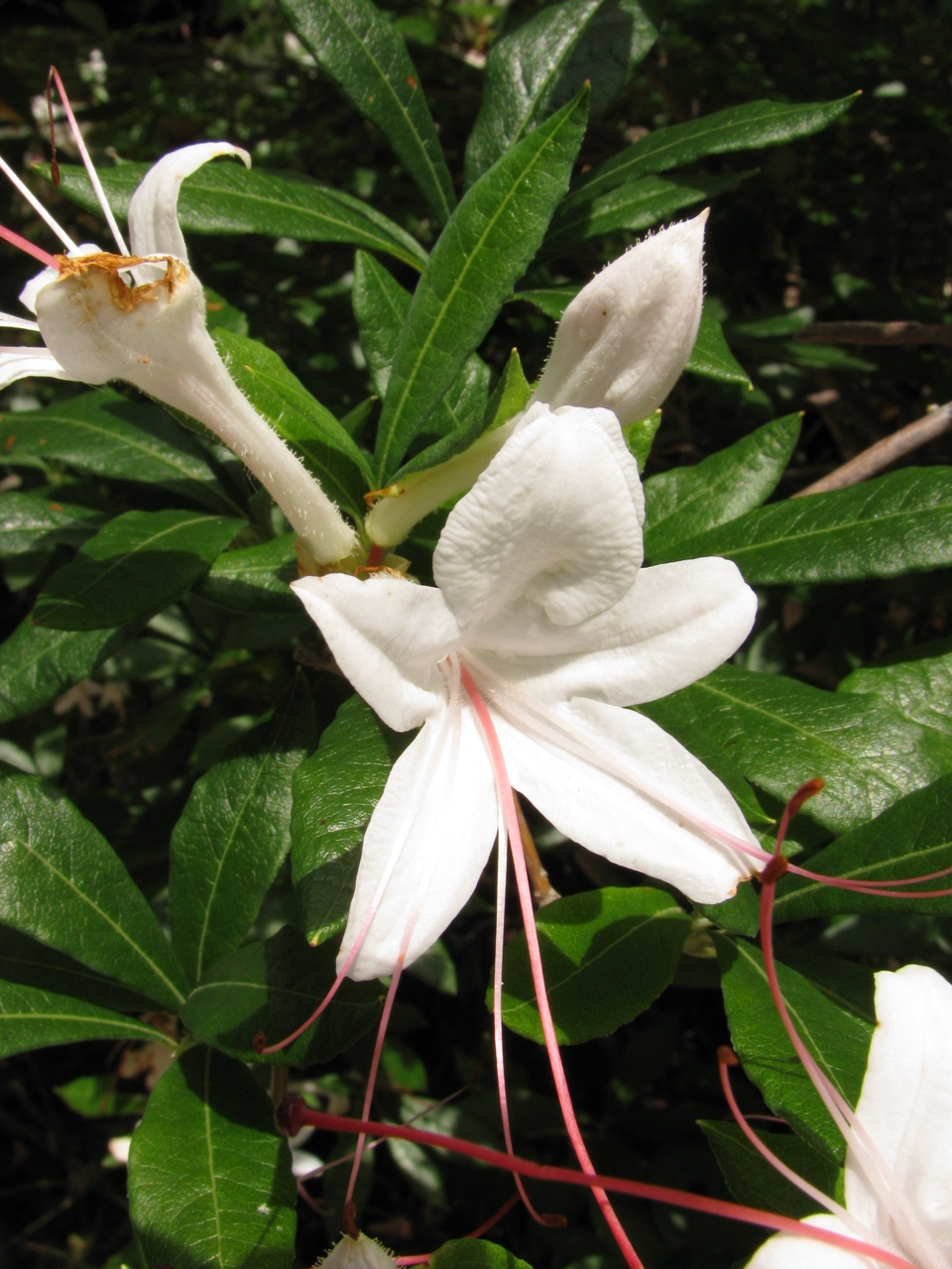 The Scientific Name is Rhododendron arborescens [= Azalea arborescens]. You will likely hear them called Smooth Azalea, Sweet Azalea. This picture shows the Notice the very dark green and shiny leaves of Rhododendron arborescens [= Azalea arborescens]