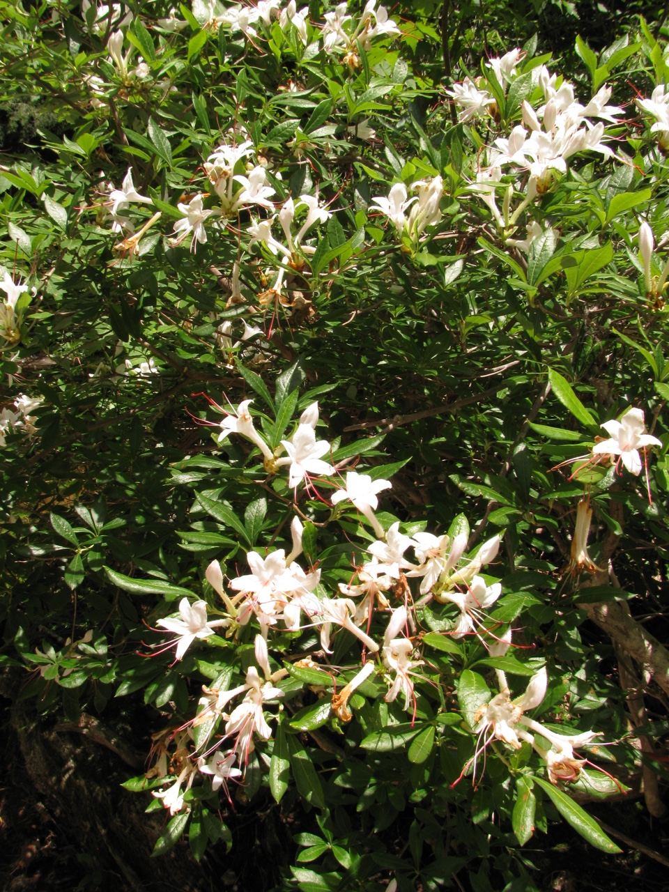 The Scientific Name is Rhododendron arborescens [= Azalea arborescens]. You will likely hear them called Smooth Azalea, Sweet Azalea. This picture shows the  of Rhododendron arborescens [= Azalea arborescens]