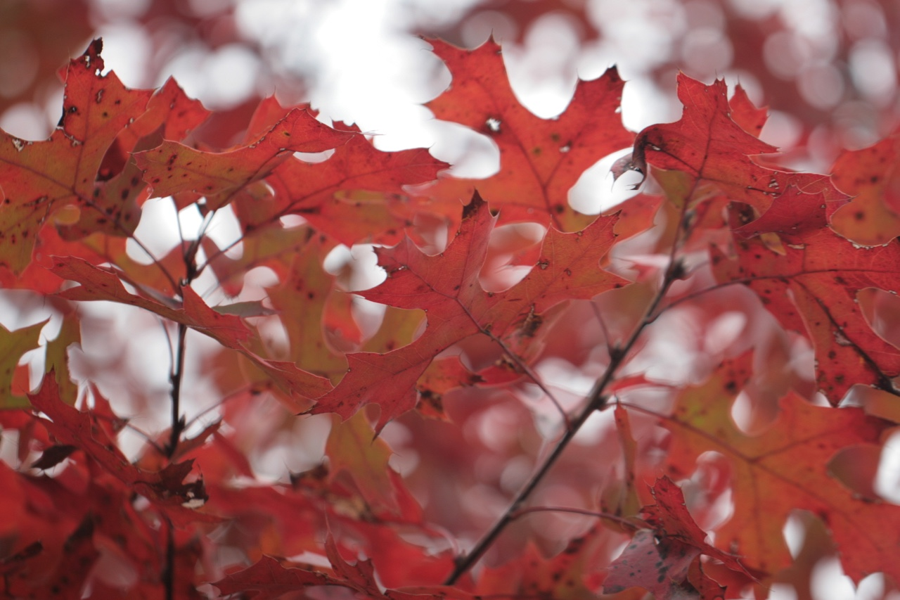 The Scientific Name is Quercus coccinea. You will likely hear them called Scarlet Oak. This picture shows the Beautiful fall color. Leaves have deep sinuses with bristle tips. of Quercus coccinea