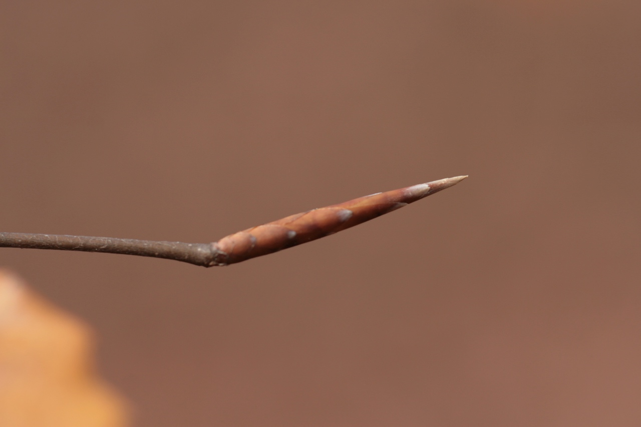 The Scientific Name is Fagus grandifolia. You will likely hear them called American Beech, Gray Beech, Red Beech, White Beech. This picture shows the Close up of terminal bud of Fagus grandifolia