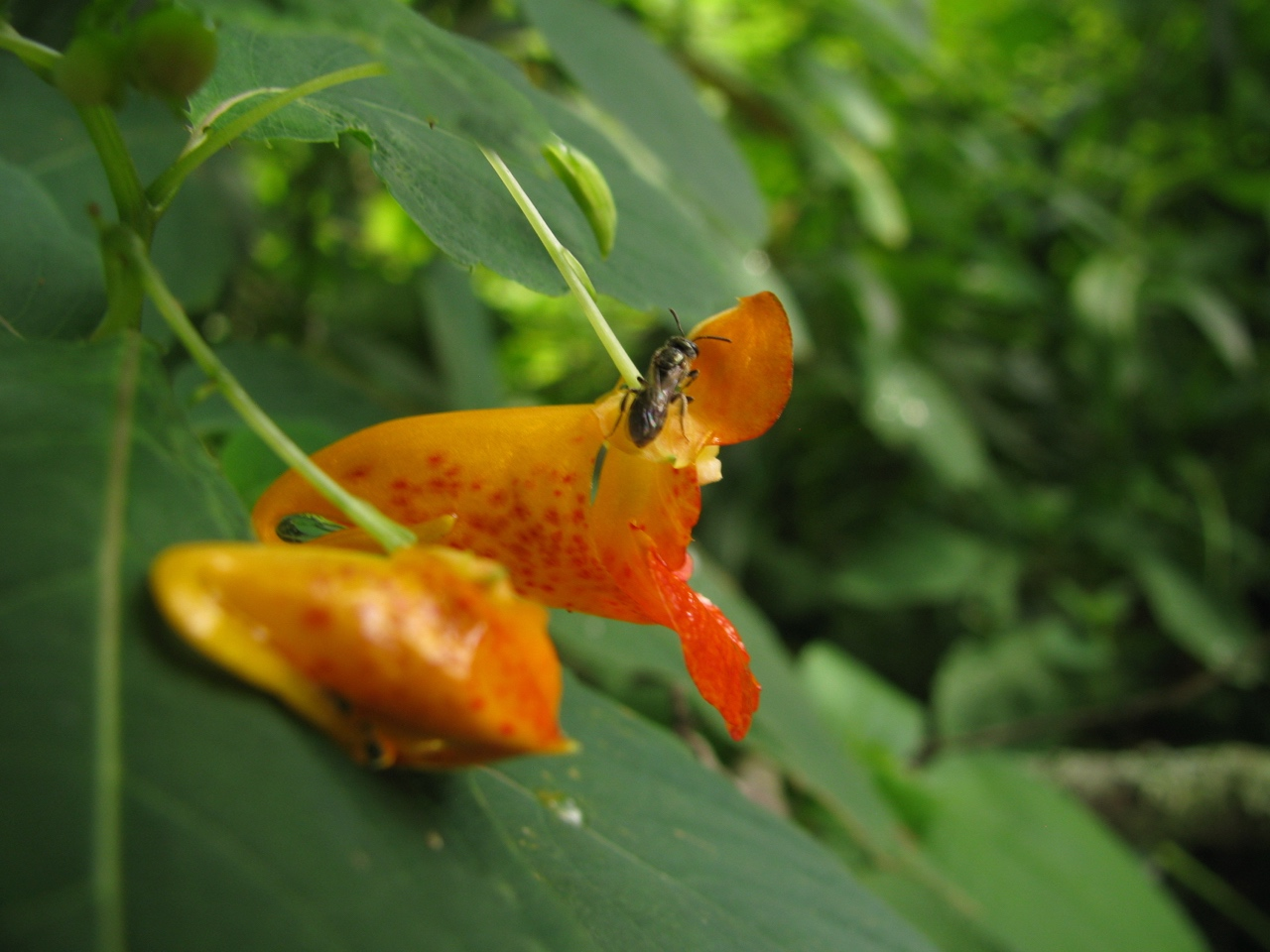 The Scientific Name is Impatiens capensis [=Impatiens biflora]. You will likely hear them called Orange Jewelweed, Orange Touch-me-not, Spotted Touch-me-not. This picture shows the Side view of flower showing trumpet-like shape of Impatiens capensis [=Impatiens biflora]
