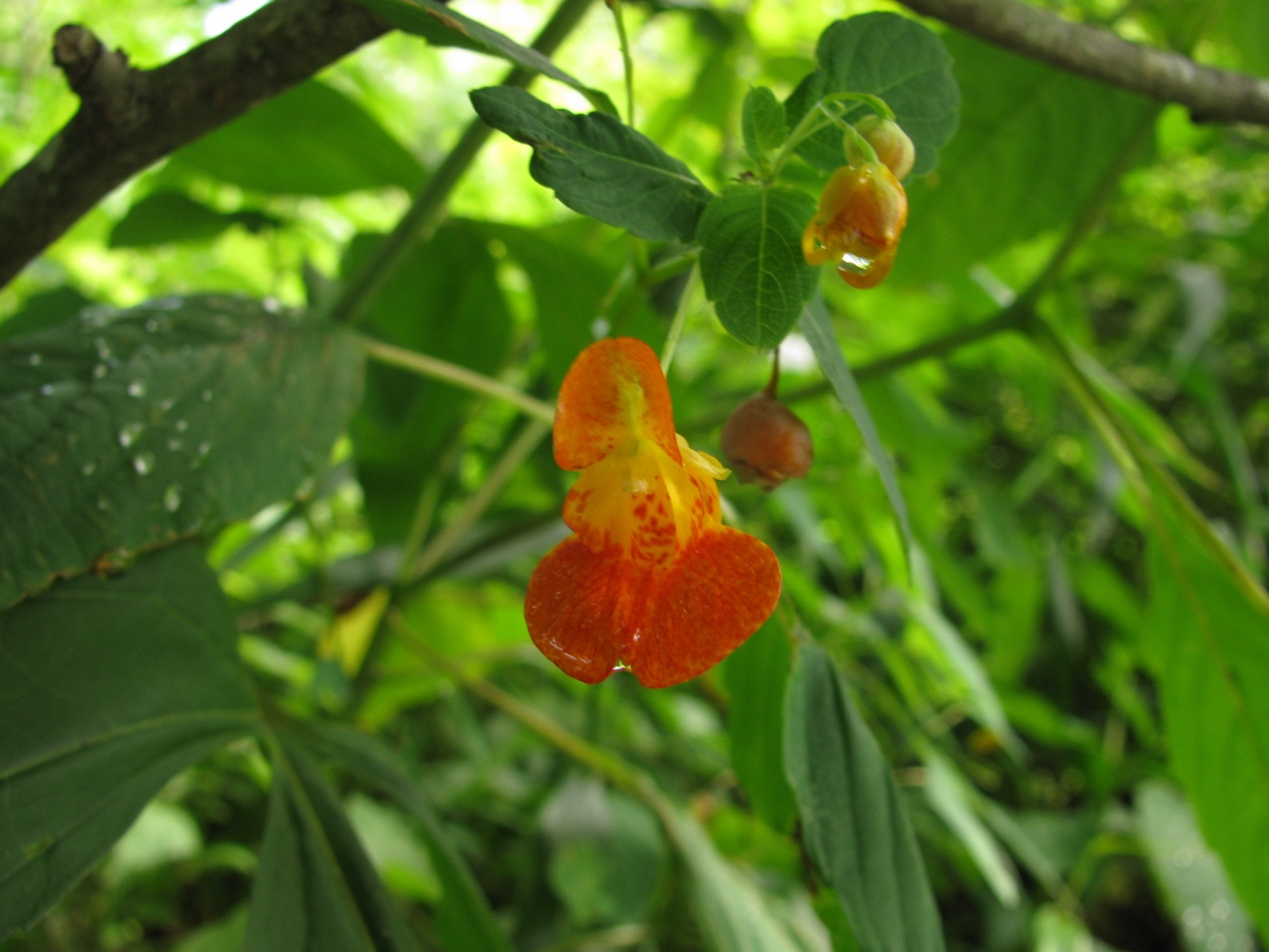 The Scientific Name is Impatiens capensis [=Impatiens biflora]. You will likely hear them called Orange Jewelweed, Orange Touch-me-not, Spotted Touch-me-not. This picture shows the Orange-colored flowers and buds of Impatiens capensis [=Impatiens biflora]