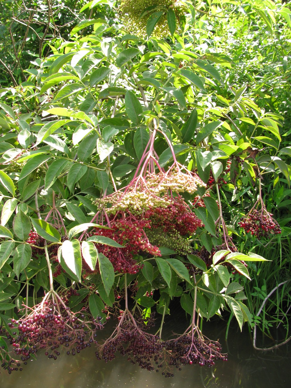 The Scientific Name is Sambucus canadensis. You will likely hear them called Common Elderberry. This picture shows the Developing fruit clusters of Sambucus canadensis