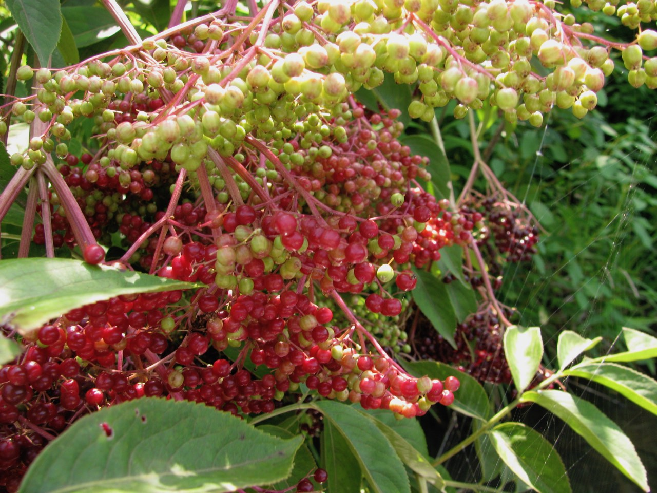 The Scientific Name is Sambucus canadensis. You will likely hear them called Common Elderberry. This picture shows the Close-up of ripening berries of Sambucus canadensis