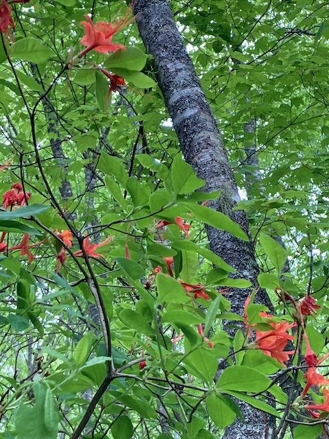 The Scientific Name is Rhododendron calendulaceum. You will likely hear them called Flame Azalea. This picture shows the Growing in its natural mesic hardwood forest habitat of Rhododendron calendulaceum