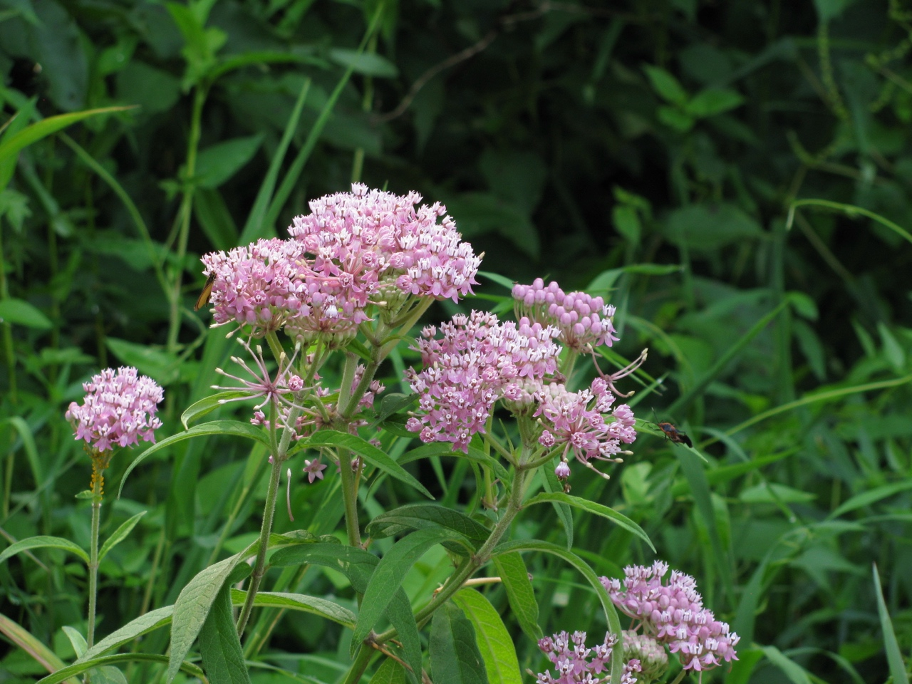 The Scientific Name is Asclepias incarnata var. pulchra. You will likely hear them called Eastern Swamp Milkweed. This picture shows the  of Asclepias incarnata var. pulchra