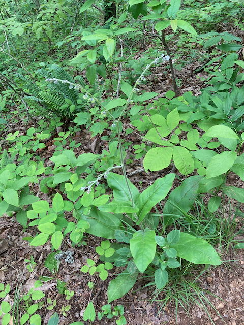 The Scientific Name is Andersonglossum virginianum [=Cynoglossum virginianum var. virginianum]. You will likely hear them called Southern Wild Comfrey, Southern Hound's-tongue. This picture shows the A raceme-like forked inflorescence extends well above the leaves of Andersonglossum virginianum [=Cynoglossum virginianum var. virginianum]