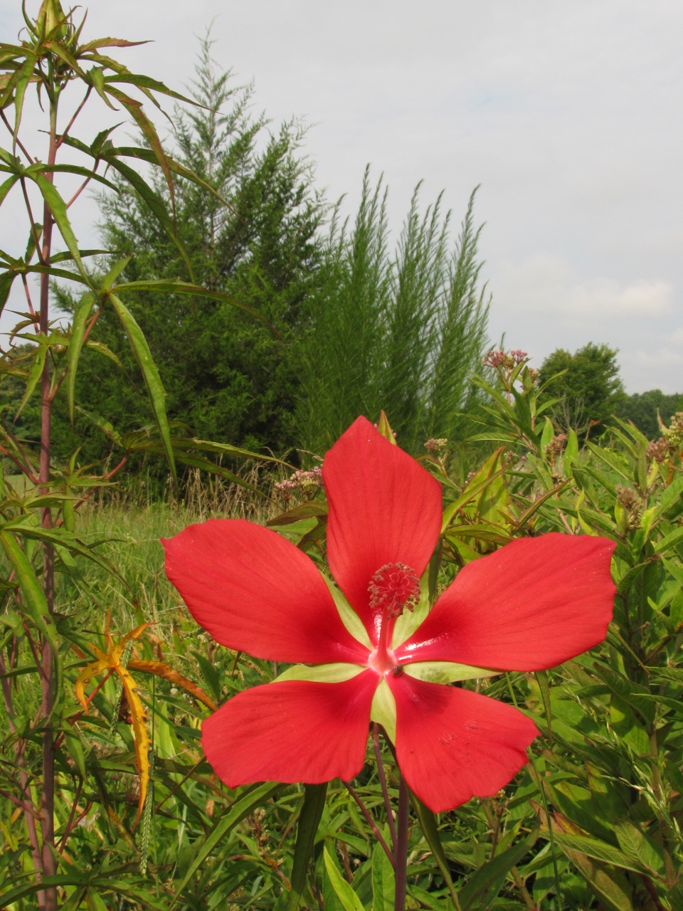 The Scientific Name is Hibiscus coccineus. You will likely hear them called Scarlet Hibiscus, Scarlet Rosemallow, Red Hibiscus. This picture shows the Beautiful, large flowers in summer of Hibiscus coccineus