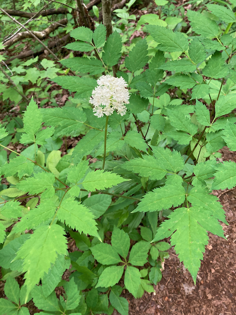 The Scientific Name is Actaea pachypoda. You will likely hear them called White Baneberry, Doll's-eyes, White Cohosh. This picture shows the  Compound leaves 2- to 3-times divided with strongly serrated margins.  Short, dense raceme of white flowers. of Actaea pachypoda