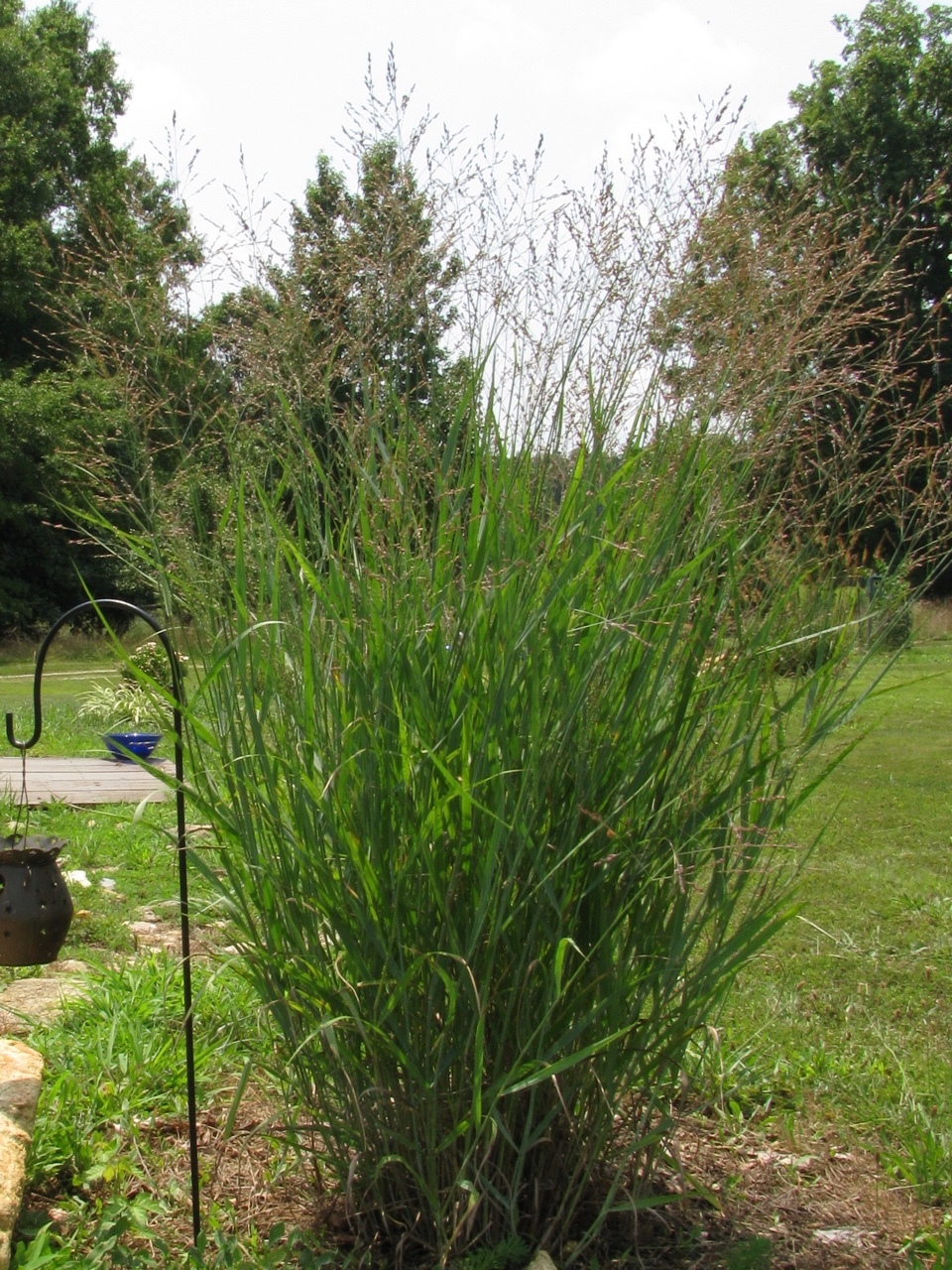 The Scientific Name is Panicum virgatum. You will likely hear them called Switchgrass. This picture shows the Flowering during the summer with lovely delicate panicles. of Panicum virgatum