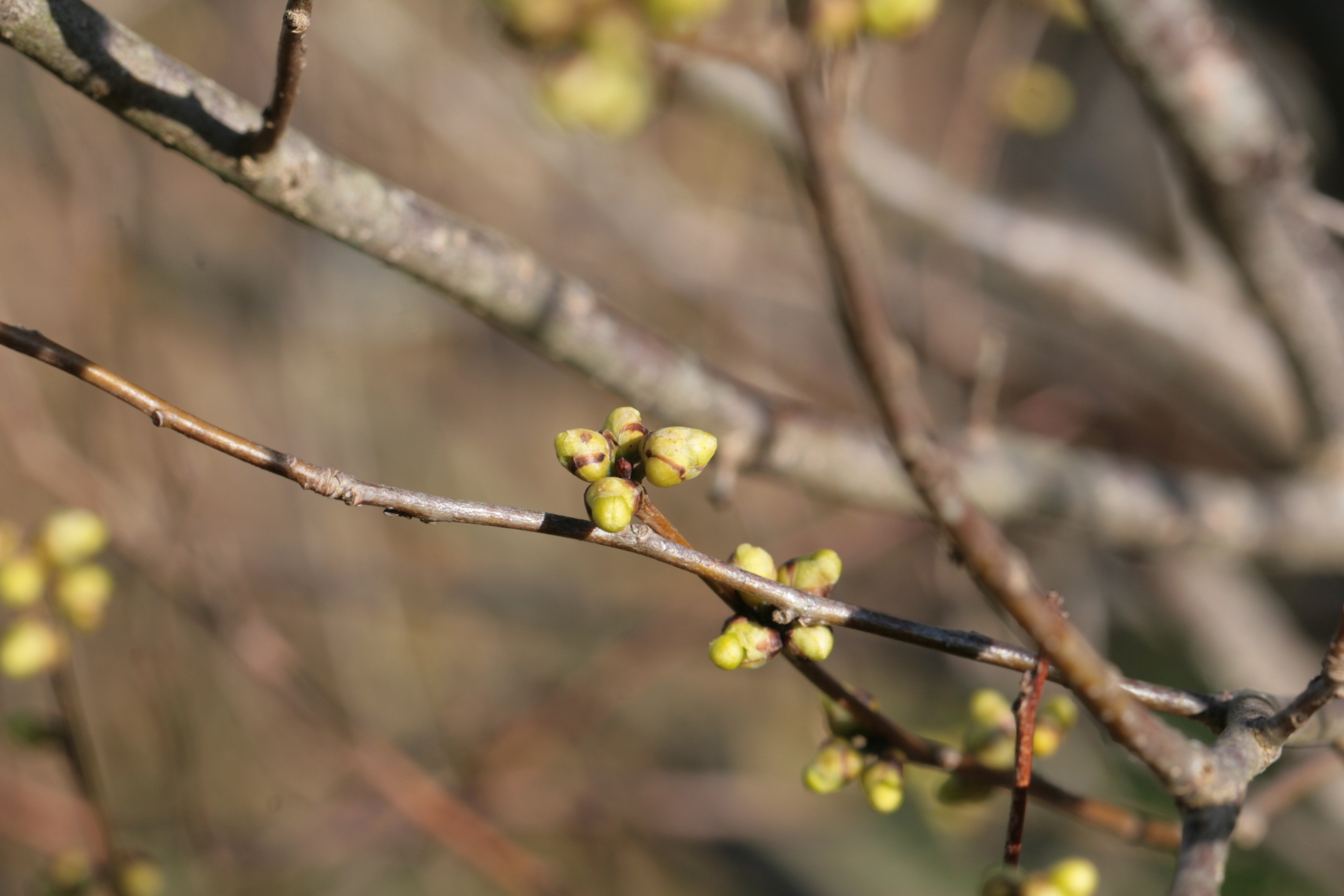The Scientific Name is Lindera benzoin. You will likely hear them called Northern Spicebush. This picture shows the Close-up of swollen flower buds in early March. of Lindera benzoin