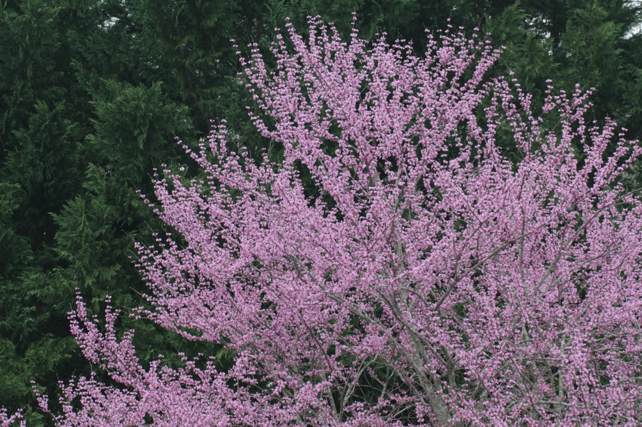 The Scientific Name is Cercis canadensis var. canadensis. You will likely hear them called Eastern Redbud, Judas-tree. This picture shows the In full bloom of Cercis canadensis var. canadensis