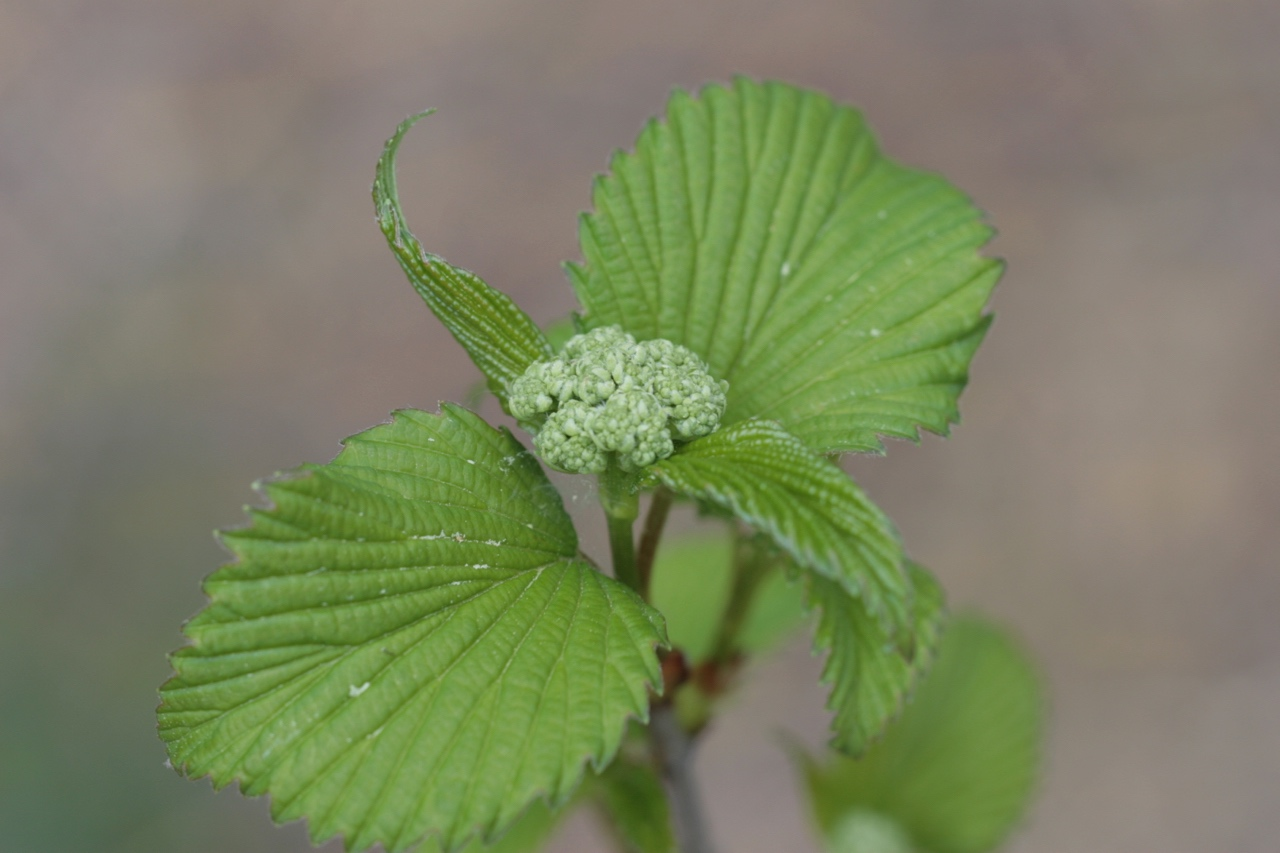The Scientific Name is Viburnum dentatum. You will likely hear them called Southern Arrowwood, Arrowwood Viburnum, Roughish Arrowwood, Smooth Arrowwood. This picture shows the Leaf and bud emergence in early Spring of Viburnum dentatum