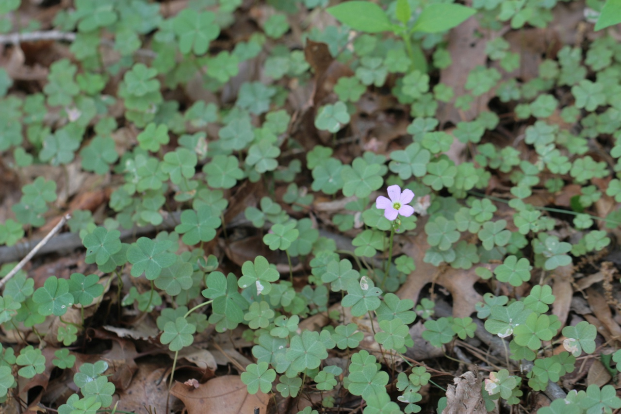The Scientific Name is Oxalis violacea. You will likely hear them called Violet Wood-sorrel. This picture shows the  A colonial species, often in fairly dense patches. of Oxalis violacea