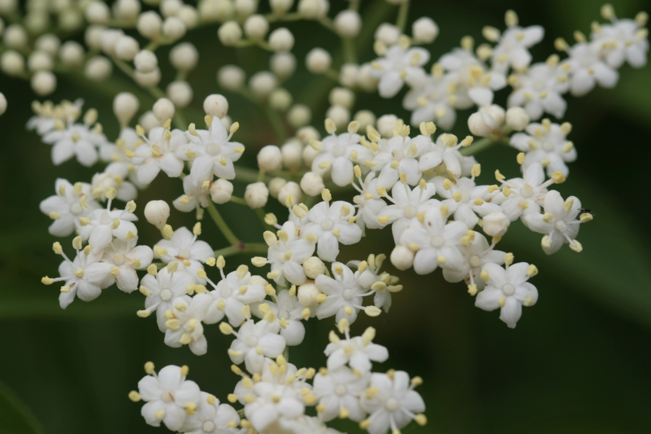 The Scientific Name is Sambucus canadensis. You will likely hear them called Common Elderberry. This picture shows the Close-up of inflorescence (large flat-topped cyme) of Sambucus canadensis