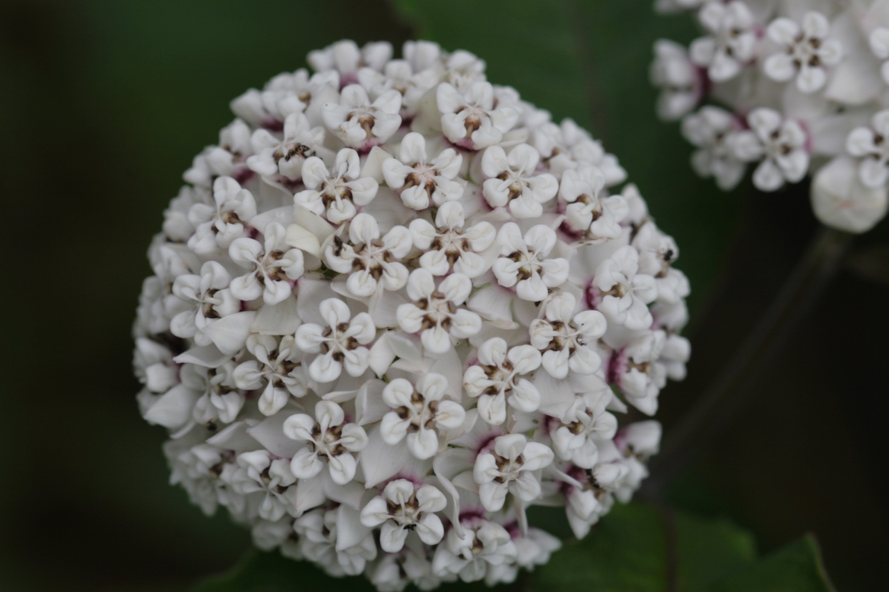 The Scientific Name is Asclepias variegata. You will likely hear them called Redring Milkweed, White Milkweed. This picture shows the  of Asclepias variegata